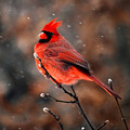 Cardinal On A Snowy Day by Catherine Sherman