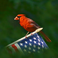 Cardinal On American Flag by Chuck Ferrara