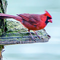 Cardinal Perched by Brian Wallace