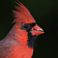 Cardinal Portrait by Phil Thach