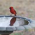 Cardinal Reflection by Terry DeLuco
