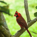 Cardinal Render by Dale Chapel