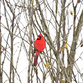 Cardinal Resting by Sharon Weiss