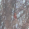 Cardinal Singing  by Cliff Ball