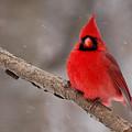 Cardinal Snowstorm by Edward Loesch