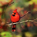 Cardinal Territory by Christina Rollo