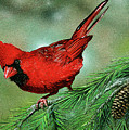 Cardinal by Todd Bachta