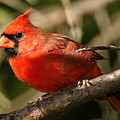 Cardinal Up Close by Alan Lenk