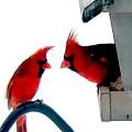 Cardinal Winter by Sam Davis Johnson