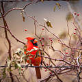 Cardinal With A Mouthful Of Hips by Jeff Phillippi
