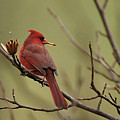 Cardinal With Seed by Alan Lenk