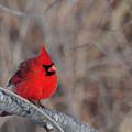 Cardinalis Cardinalis by Mike Martin