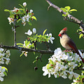 Cardinals In Spring by Sandra Huston
