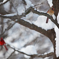 Cardinals by Jane Melgaard