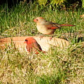 Cardinals by Vicky Tarcau