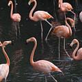 Caribbean Flamingoes At The Sedgwick by Joel Sartore