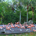 Caribbean Flamingos by Tammy Chesney