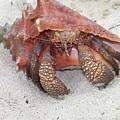 Caribbean Hermit Crab by Gina Sullivan