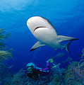 Caribbean Reef Shark by Dave Fleetham - Printscapes