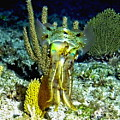 Caribbean Squid At Night - Alien Of The Deep by Amy McDaniel