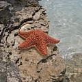 Caribbean Starfish by Betsy Knapp