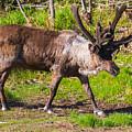 Caribou Antlers In Velvet by Allan Levin