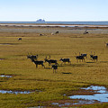 Caribou Herd by Anthony Jones
