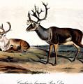 Caribou (rangifer Caribou): by Granger