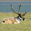 Caribou Resting by Anthony Jones