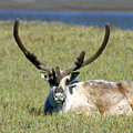 Caribou Resting In Tundra Grass by Anthony Jones