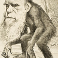Caricature Of Charles Darwin by English School