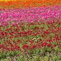 Carlsbad Flower Fields by Garry Loss