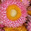 Carmel Flower by Sarah Madsen