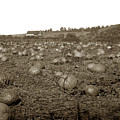Carmel Mission Pumpkins Fields Circa 1890 by California Views Archives Mr Pat Hathaway Archives