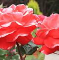 Carmel Mission Roses by Carol Groenen