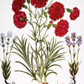 Carnation & Lavender, 1613 by Granger
