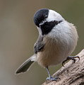 Carolina Chickadee 2 by MCM Photography