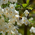 Carolina Silverbell And Bee by Maria Urso