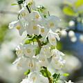 Carolina Silverbells In Spring by Maria Urso