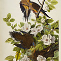 Carolina Turtledove by John James Audubon