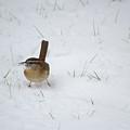 Carolina Wren In Snow by Rima Biswas