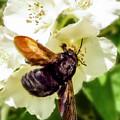 Carpenter Bee by KaFra Art