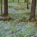 Carpet Of Blue by David T Wilkinson