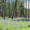 Carpet Of Lupine In Washington Forest by Carol Groenen