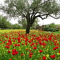 Carpet Of Poppies by Andonis Katanos