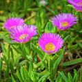 Carpobrotus Edulis Pink Ice Plant by Sophie McAulay