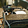 Carriage Dog by Amie Ebert
