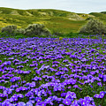 Carrizo Plain National Monument Wildflowers by Kyle Hanson