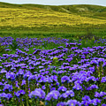 Carrizo Plain Wildflowers by Kyle Hanson