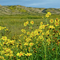 Carrizo Plain Yellow Daisies by Kyle Hanson